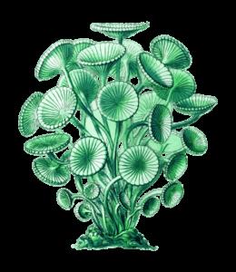 Wellstar Imune alga információk vásárlás előtt